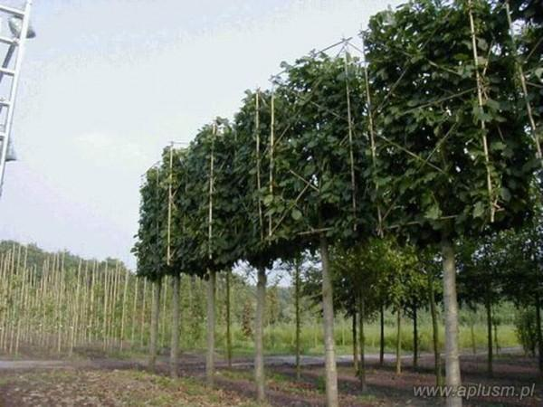 Drzewo blok 1