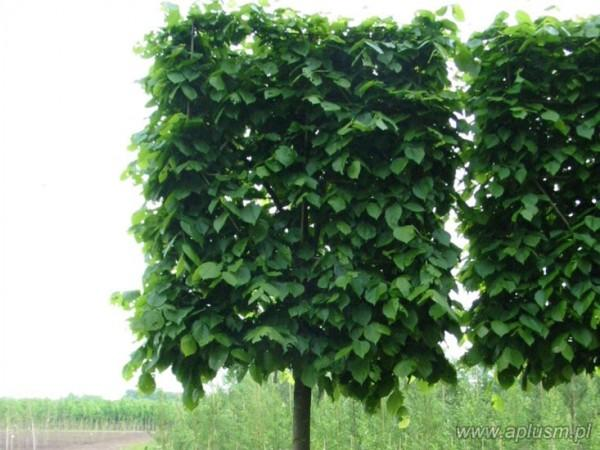 Drzewo blok 10