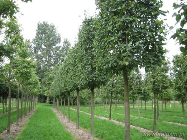 Drzewo blok 4
