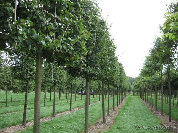 Drzewo blok 5