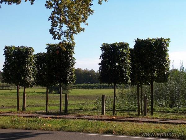 Drzewo blok 6