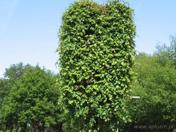 Drzewo blok 8