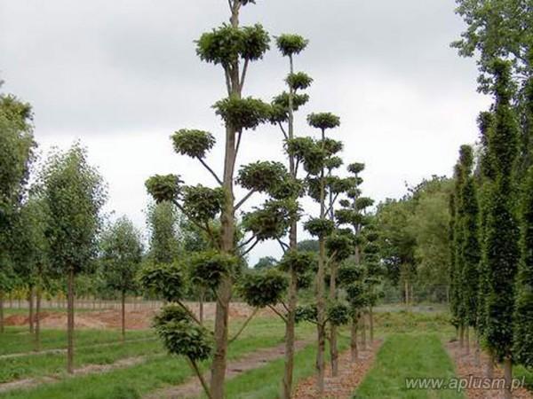 Drzewo bonzai 1