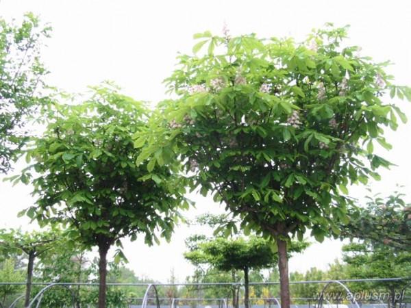 Drzewa ogłowione 0