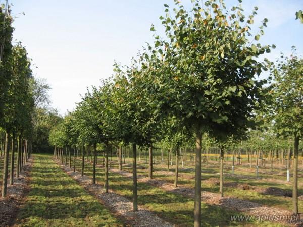Drzewa ogłowione 11