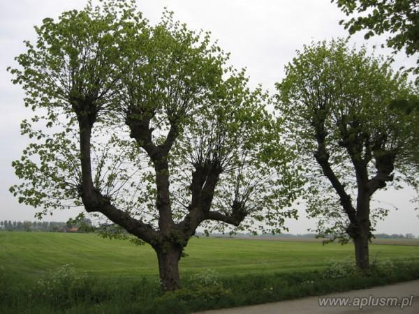 Drzewa ogłowione 15