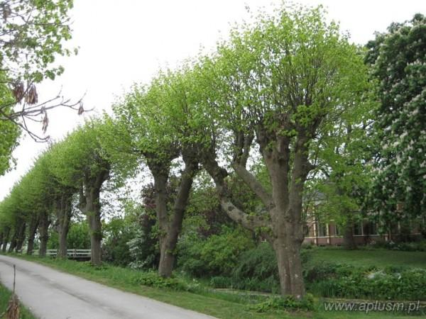 Drzewa ogłowione 16