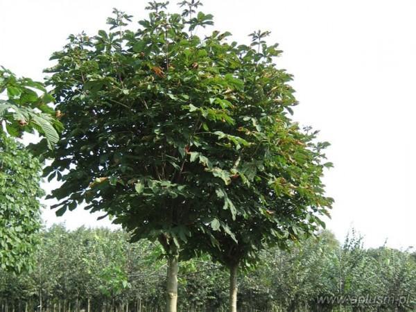 Drzewa ogłowione 17