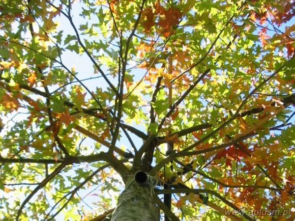 Drzewa w kształt parasola 0