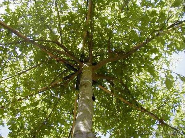 Drzewa w kształt parasola 1