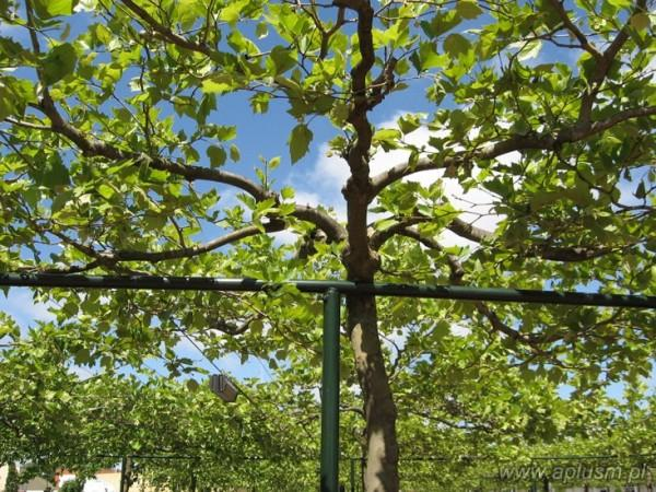 Drzewa w kształt parasola 11