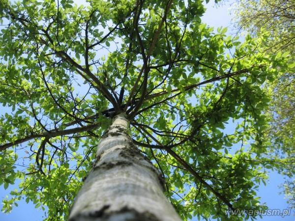 Drzewa w kształt parasola 13