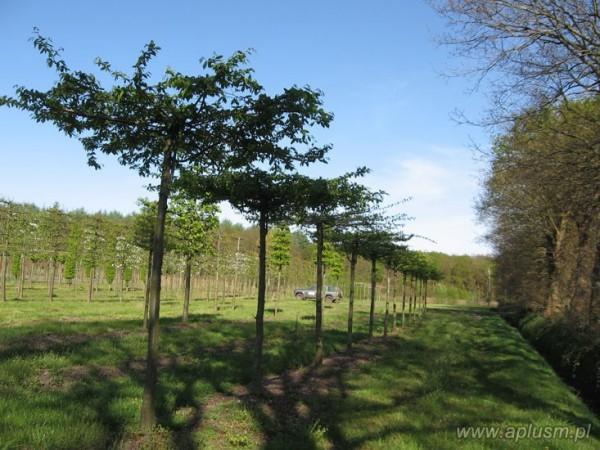 Drzewa w kształt parasola 14