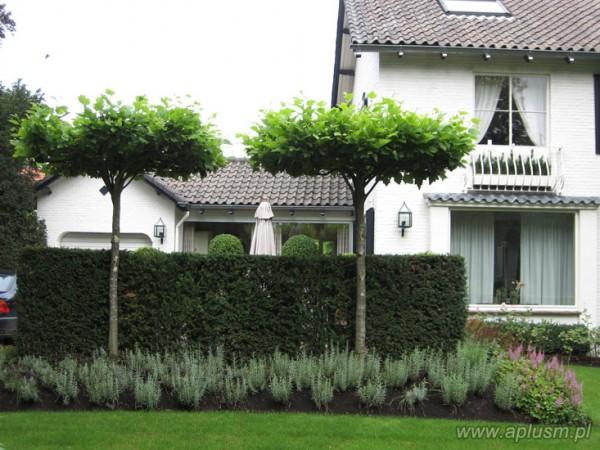 Drzewa w kształt parasola 2