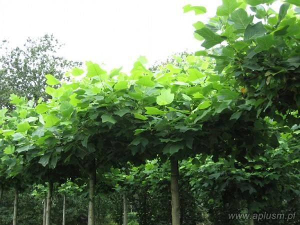 Drzewa w kształt parasola 6