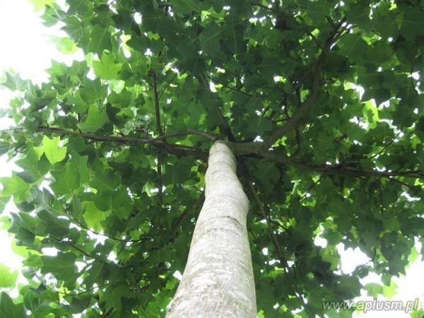 Drzewa w kształt parasola 7