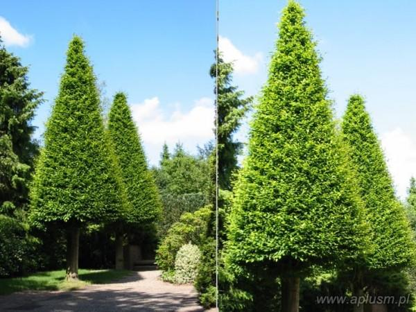 Drzewo w kształcie stożka 1