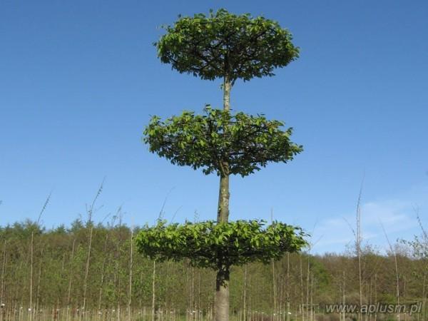 Drzewo w kształt talerzy 1