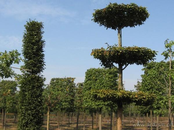 Drzewo w kształt talerzy 2