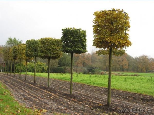 Drzewo w kształt walca 3